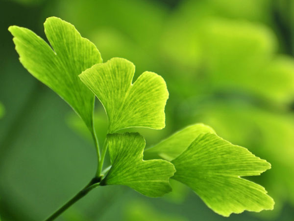 Ginkgo Biloba | What is Ginkgo Biloba? | What are the Benefits of Ginkgo Biloba?